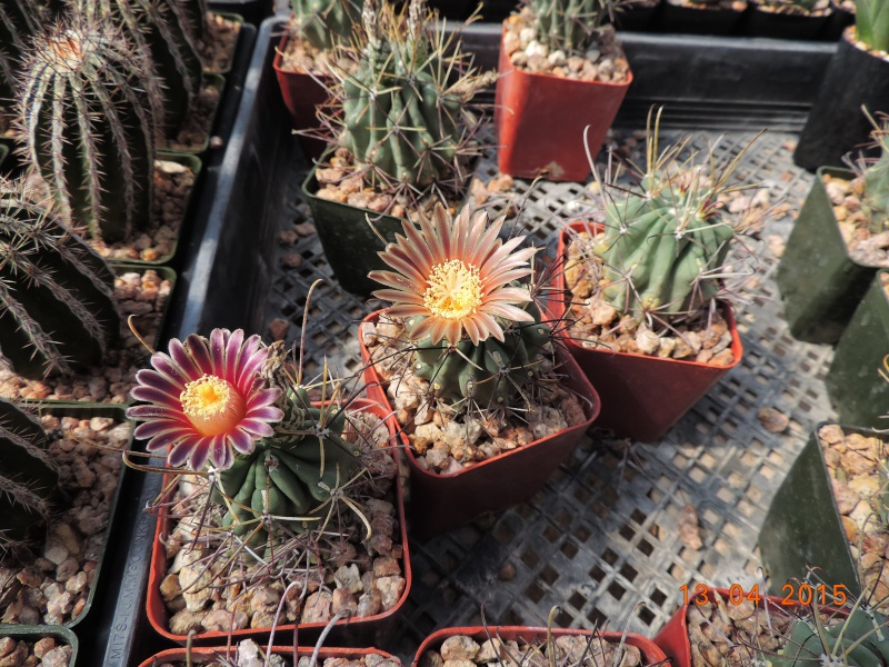 Cacti and Sukkulent in Köln, every day new flowers in the greenhouse Part 133 9080010