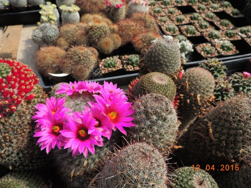 Cacti and Sukkulent in Köln, every day new flowers in the greenhouse Part 133 9080310