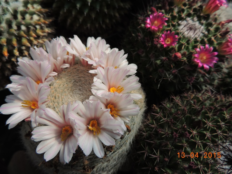 Cacti and Sukkulent in Köln, every day new flowers in the greenhouse Part 133 9080410