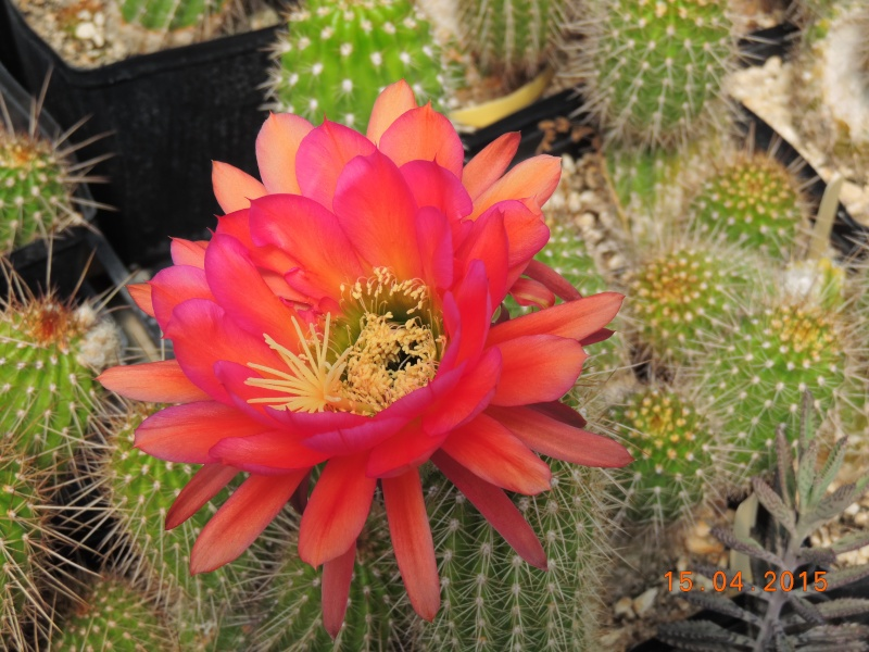 Cacti and Sukkulent in Köln, every day new flowers in the greenhouse Part 132 9113710