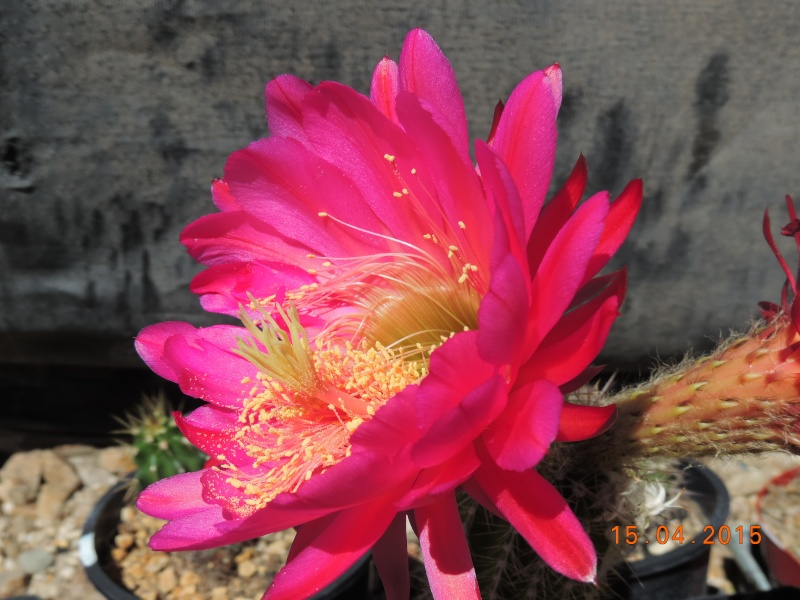 Cacti and Sukkulent in Köln, every day new flowers in the greenhouse Part 132 9114910