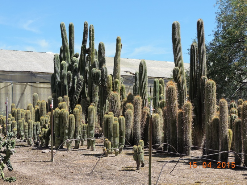 Cacti and Sukkulent in Köln, every day new flowers in the greenhouse Part 132 9116110