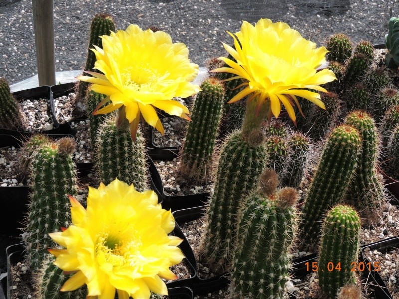 Cacti and Sukkulent in Köln, every day new flowers in the greenhouse Part 132 9116510