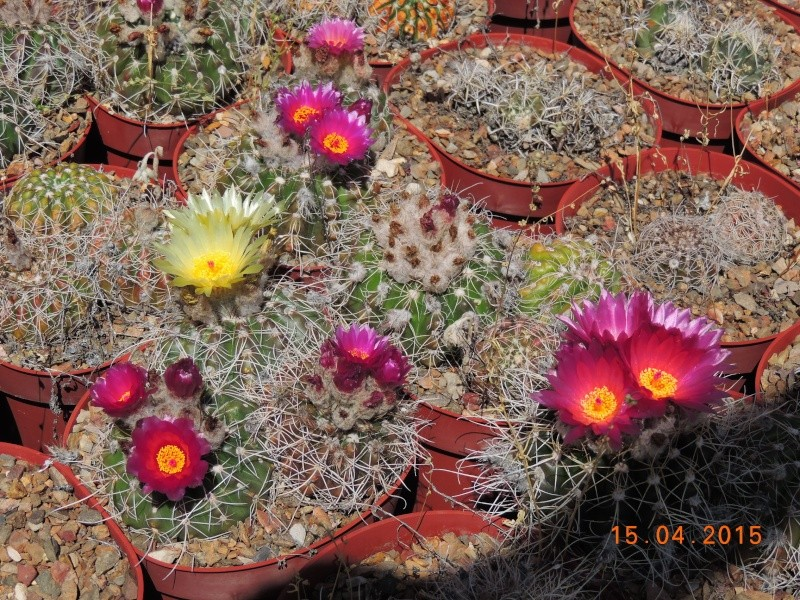 Cacti and Sukkulent in Köln, every day new flowers in the greenhouse Part 132 9118410