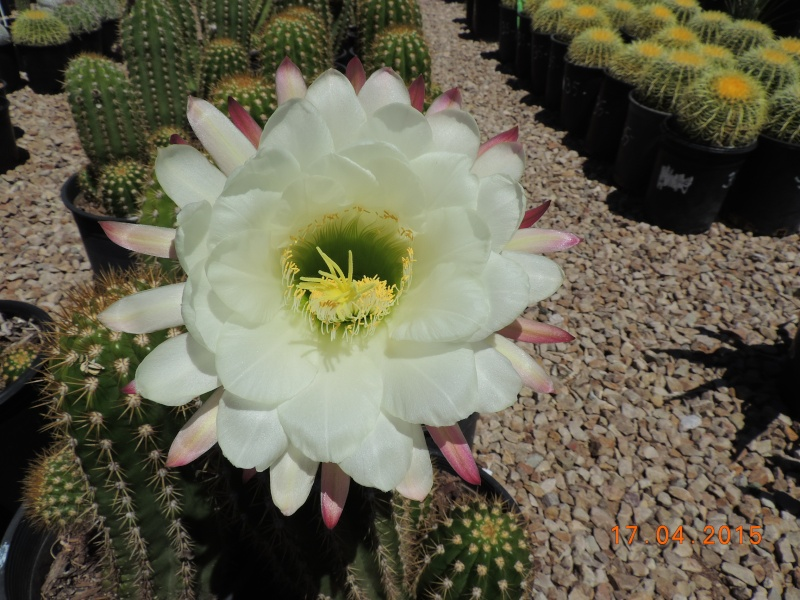 Cacti and Sukkulent in Köln, every day new flowers in the greenhouse Part 132 9167910