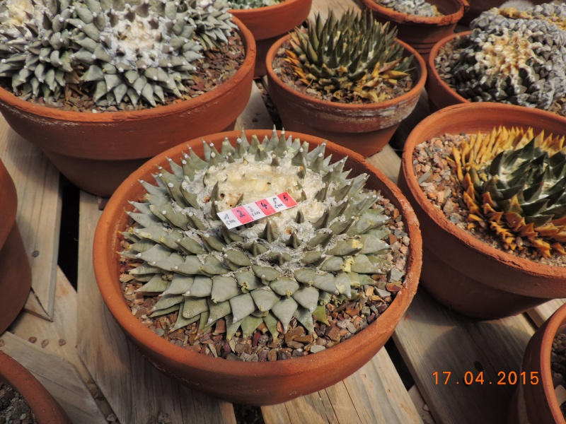Cacti and Sukkulent in Köln, every day new flowers in the greenhouse Part 132 9171110