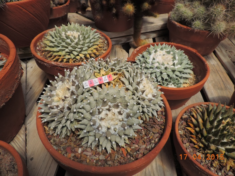 Cacti and Sukkulent in Köln, every day new flowers in the greenhouse Part 132 9171310