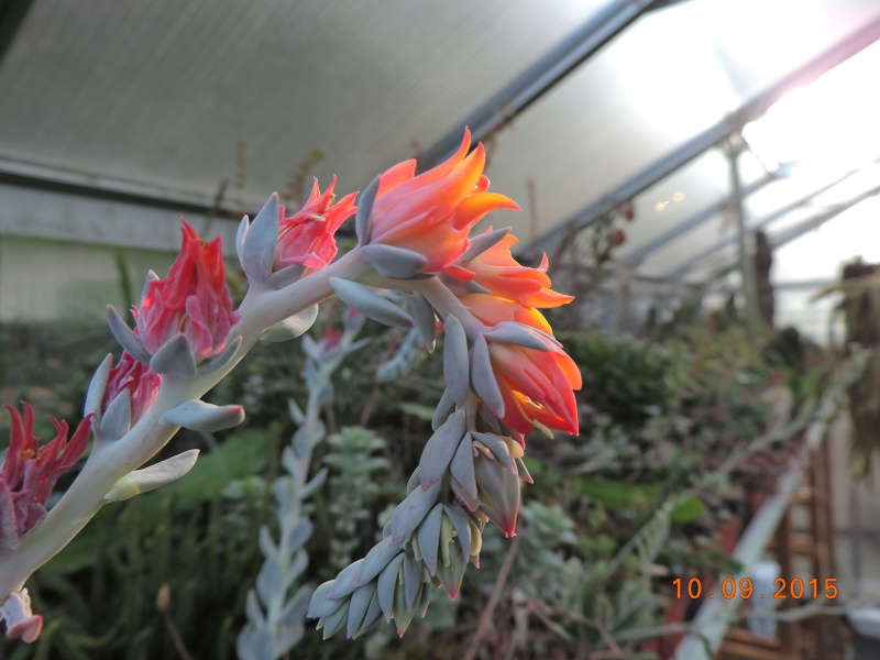 Cacti and Sukkulent in Köln, every day new flowers in the greenhouse Part 130 Bild_103