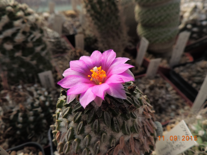 Cacti and Sukkulent in Köln, every day new flowers in the greenhouse Part 130 Bild_107