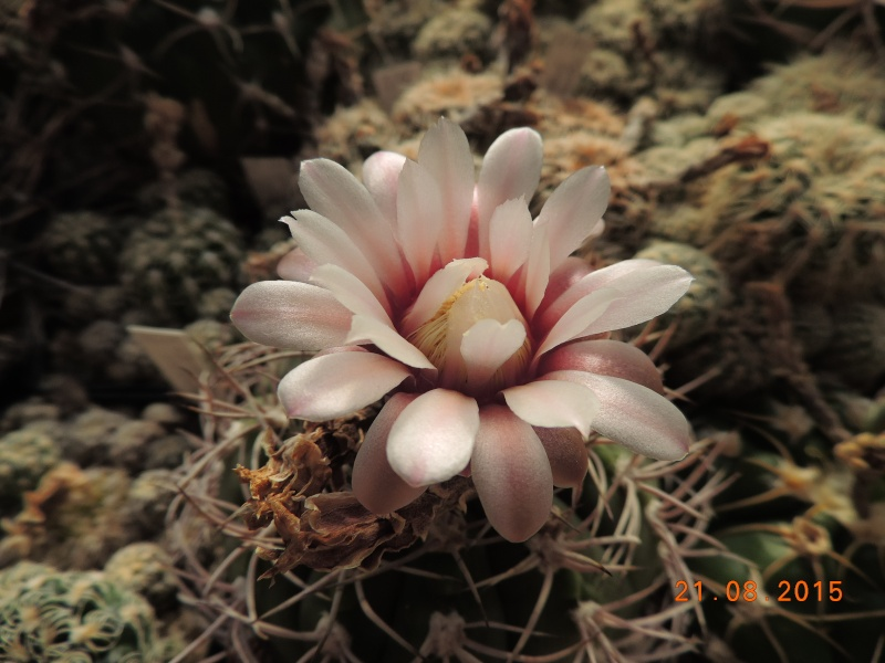 Cacti and Sukkulent in Köln, every day new flowers in the greenhouse Part 129 Bild_112