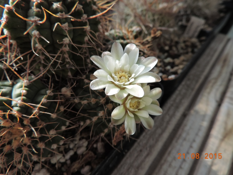 Cacti and Sukkulent in Köln, every day new flowers in the greenhouse Part 129 Bild_114