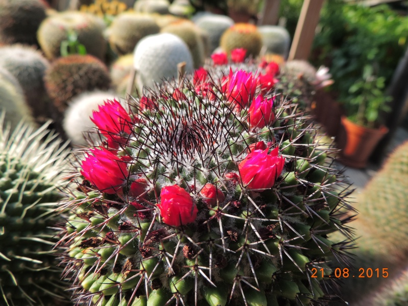 Cacti and Sukkulent in Köln, every day new flowers in the greenhouse Part 129 Bild_116