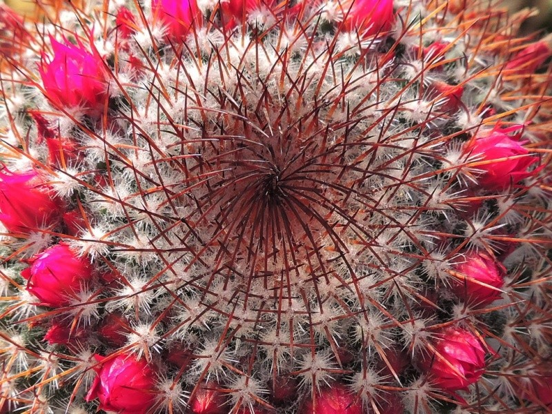 Cacti and Sukkulent in Köln, every day new flowers in the greenhouse Part 129 Bild_123