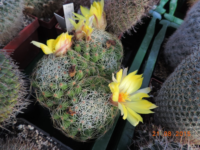 Cacti and Sukkulent in Köln, every day new flowers in the greenhouse Part 129 Bild_126