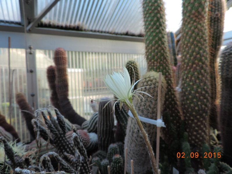 Cacti and Sukkulent in Köln, every day new flowers in the greenhouse Part 130 Bild_135