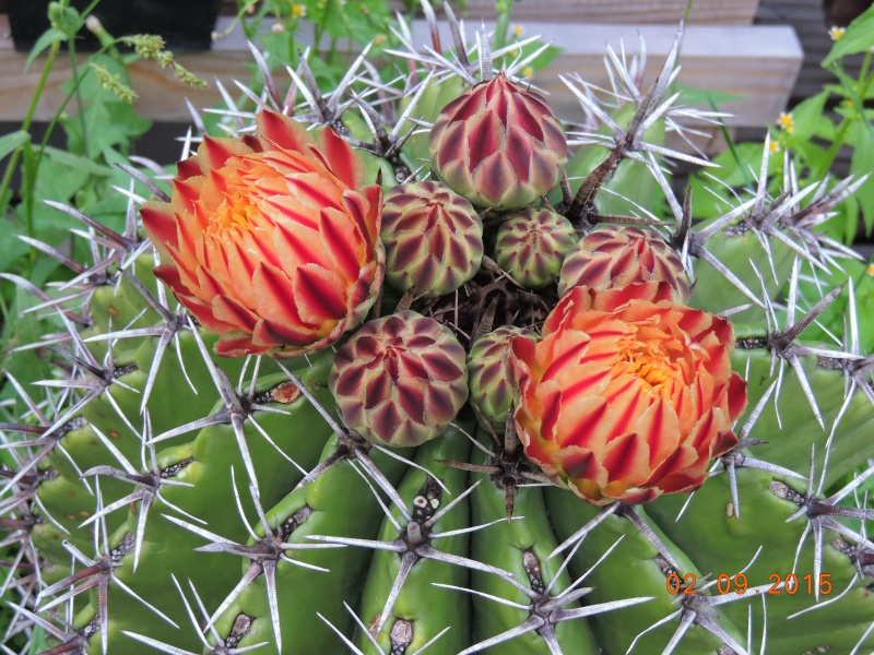 Cacti and Sukkulent in Köln, every day new flowers in the greenhouse Part 130 Bild_144