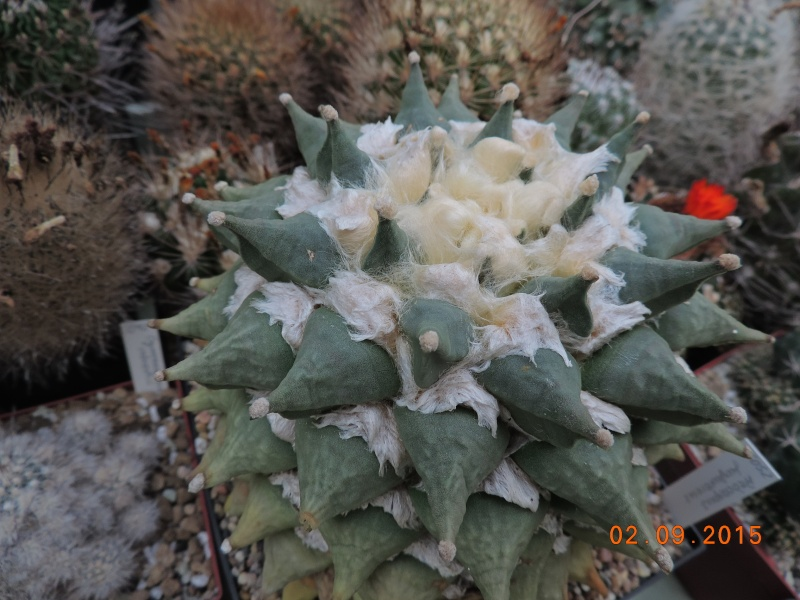 Cacti and Sukkulent in Köln, every day new flowers in the greenhouse Part 130 Bild_151