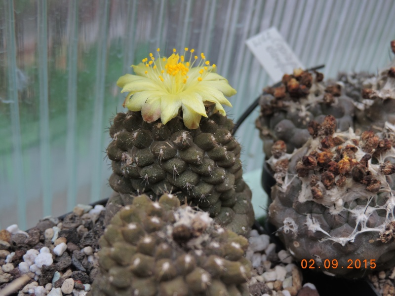 Cacti and Sukkulent in Köln, every day new flowers in the greenhouse Part 130 Bild_153