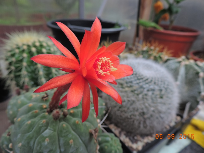 Cacti and Sukkulent in Köln, every day new flowers in the greenhouse Part 130 Bild_165