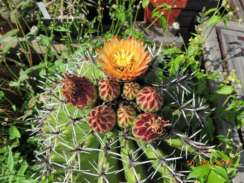 Cacti and Sukkulent in Köln, every day new flowers in the greenhouse Part 130 Bild_176