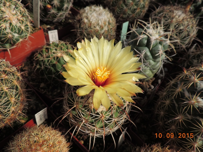 Cacti and Sukkulent in Köln, every day new flowers in the greenhouse Part 130 Bild_185