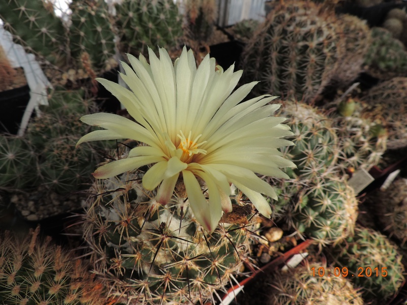 Cacti and Sukkulent in Köln, every day new flowers in the greenhouse Part 130 Bild_186