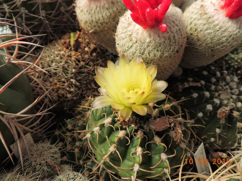 Cacti and Sukkulent in Köln, every day new flowers in the greenhouse Part 130 Bild_188
