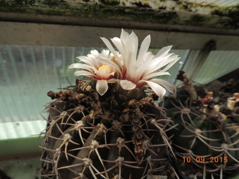 Cacti and Sukkulent in Köln, every day new flowers in the greenhouse Part 130 Bild_189