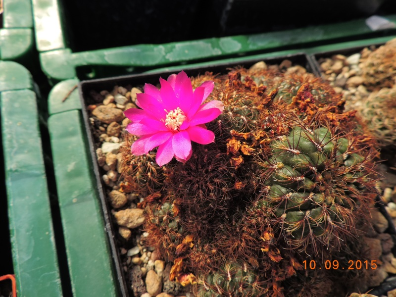 Cacti and Sukkulent in Köln, every day new flowers in the greenhouse Part 130 Bild_191