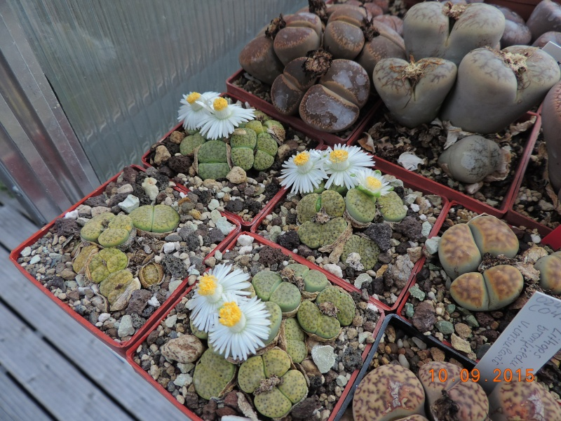 Cacti and Sukkulent in Köln, every day new flowers in the greenhouse Part 130 Bild_198