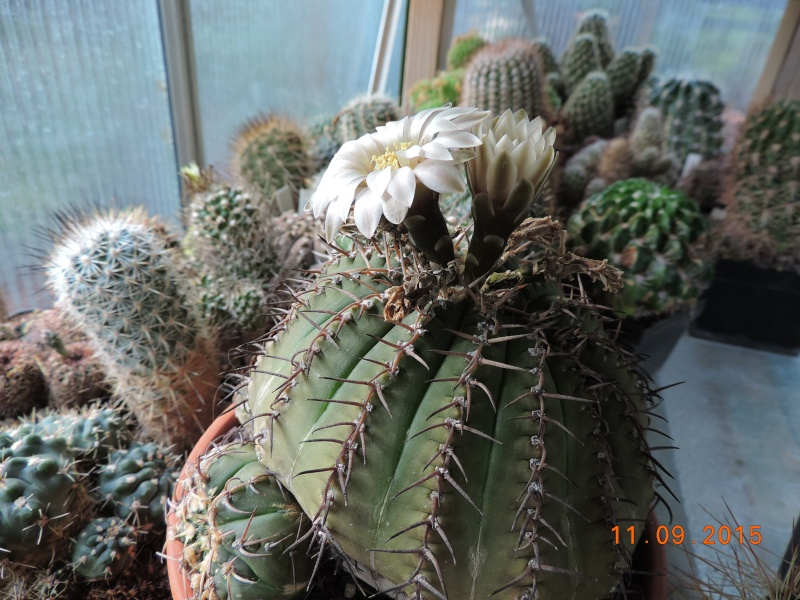 Cacti and Sukkulent in Köln, every day new flowers in the greenhouse Part 130 Bild_200