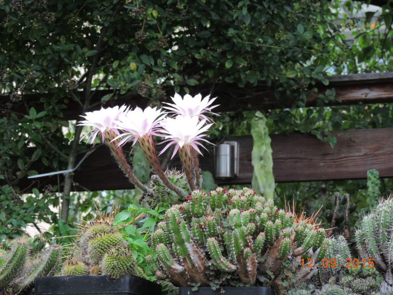 Cacti and Sukkulent in Köln, every day new flowers in the greenhouse Part 130 Bild_206