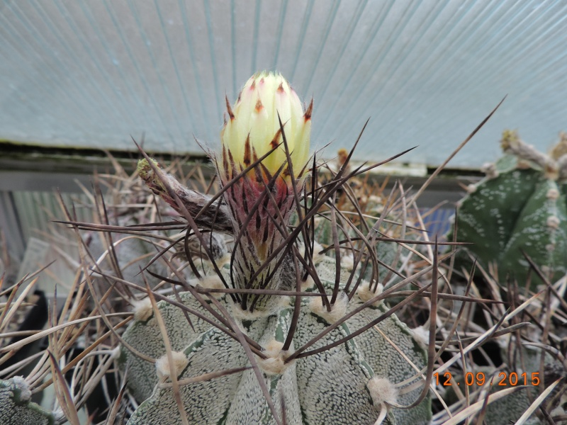 Cacti and Sukkulent in Köln, every day new flowers in the greenhouse Part 130 Bild_210