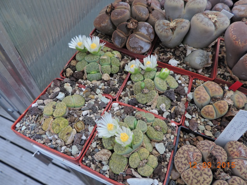 Cacti and Sukkulent in Köln, every day new flowers in the greenhouse Part 130 Bild_214