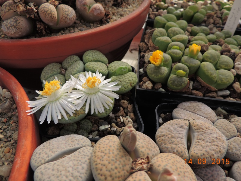 Cacti and Sukkulent in Köln, every day new flowers in the greenhouse Part 130 Bild_217