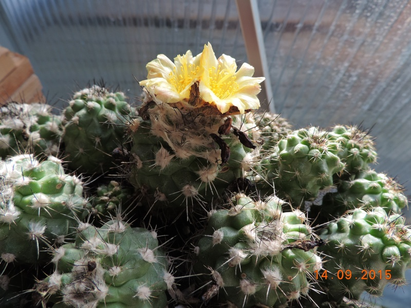 Cacti and Sukkulent in Köln, every day new flowers in the greenhouse Part 130 Bild_219
