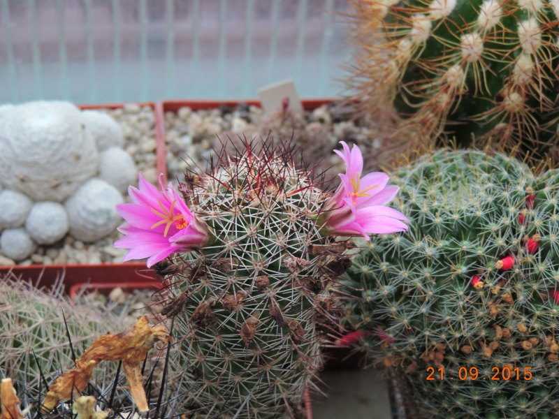 Cacti and Sukkulent in Köln, every day new flowers in the greenhouse Part 130 Bild_236
