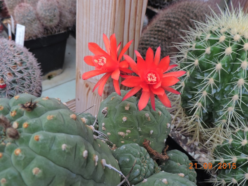 Cacti and Sukkulent in Köln, every day new flowers in the greenhouse Part 130 Bild_239