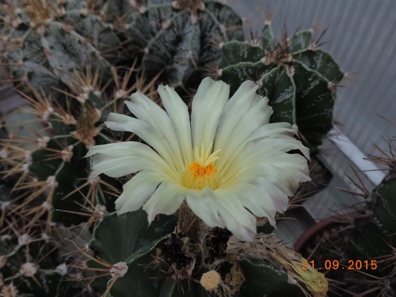 Cacti and Sukkulent in Köln, every day new flowers in the greenhouse Part 130 Bild_240
