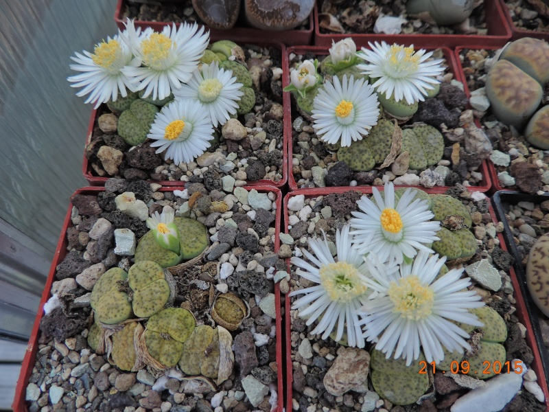 Cacti and Sukkulent in Köln, every day new flowers in the greenhouse Part 130 Bild_245