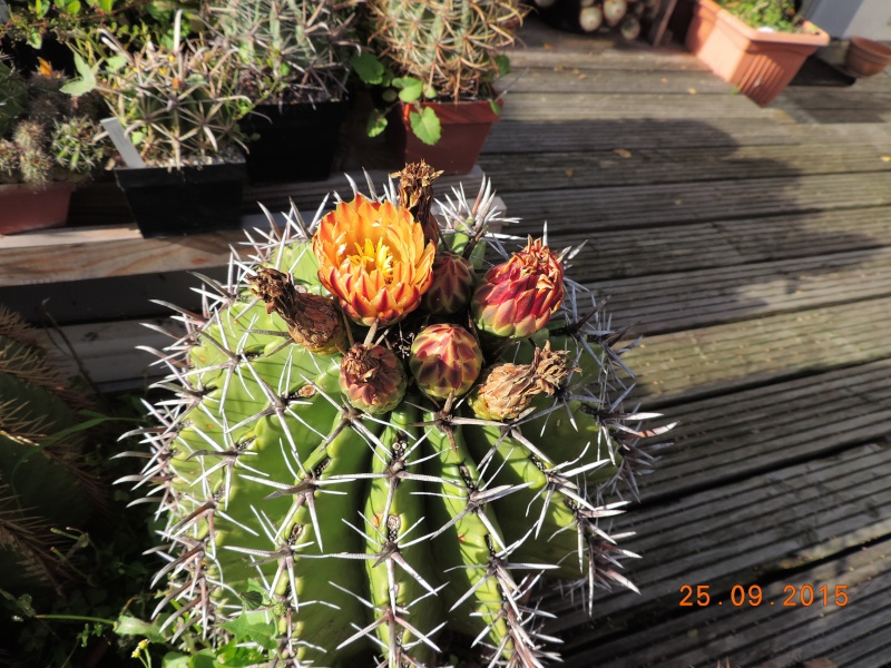 Cacti and Sukkulent in Köln, every day new flowers in the greenhouse Part 131 Bild_265