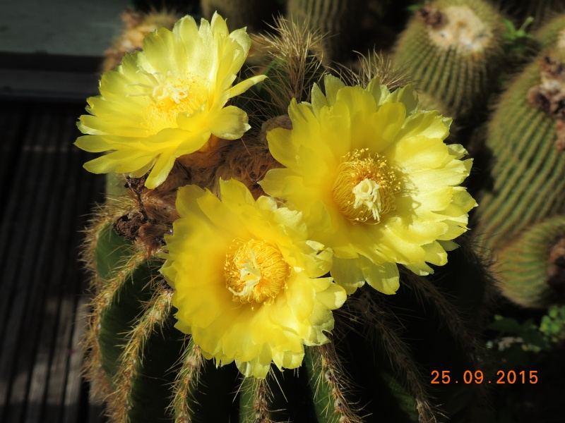 Cacti and Sukkulent in Köln, every day new flowers in the greenhouse Part 131 Bild_268