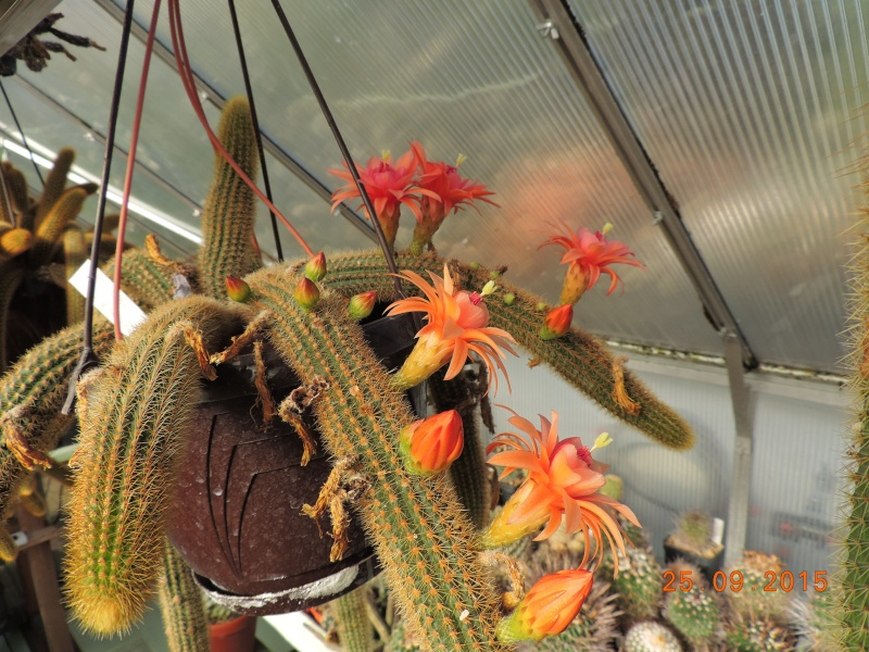 Cacti and Sukkulent in Köln, every day new flowers in the greenhouse Part 131 Bild_269