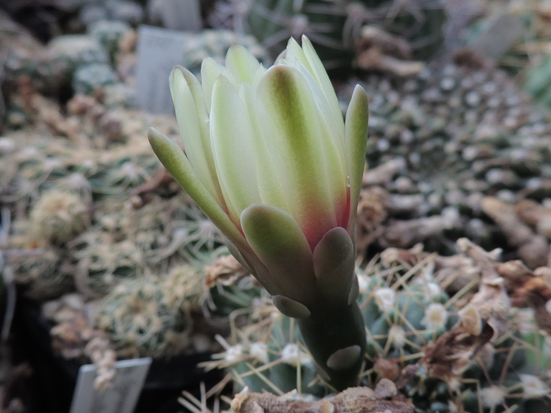 Cacti and Sukkulent in Köln, every day new flowers in the greenhouse Part 131 Bild_274