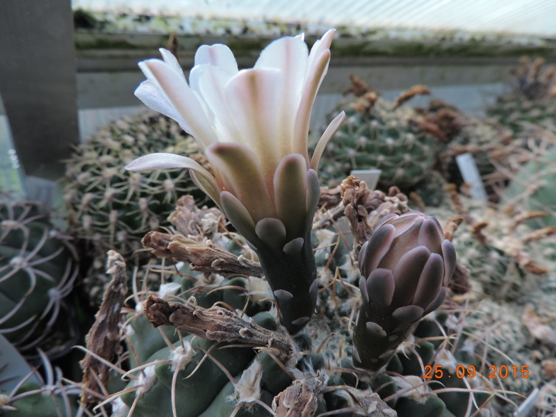 Cacti and Sukkulent in Köln, every day new flowers in the greenhouse Part 131 Bild_275