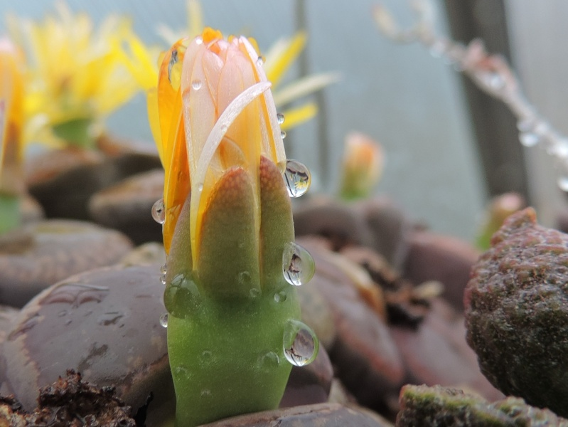 Cacti and Sukkulent in Köln, every day new flowers in the greenhouse Part 131 Bild_304