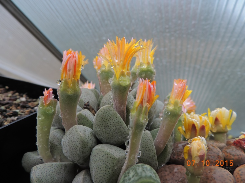 Cacti and Sukkulent in Köln, every day new flowers in the greenhouse Part 131 Bild_307