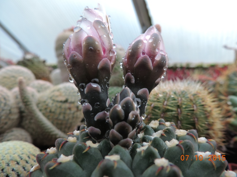 Cacti and Sukkulent in Köln, every day new flowers in the greenhouse Part 131 Bild_314