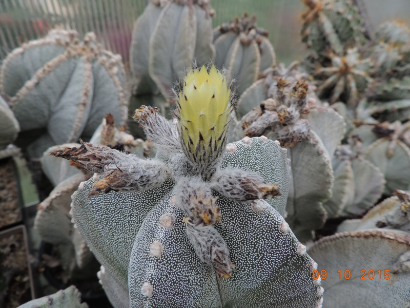 Cacti and Sukkulent in Köln, every day new flowers in the greenhouse Part 131 Bild_329
