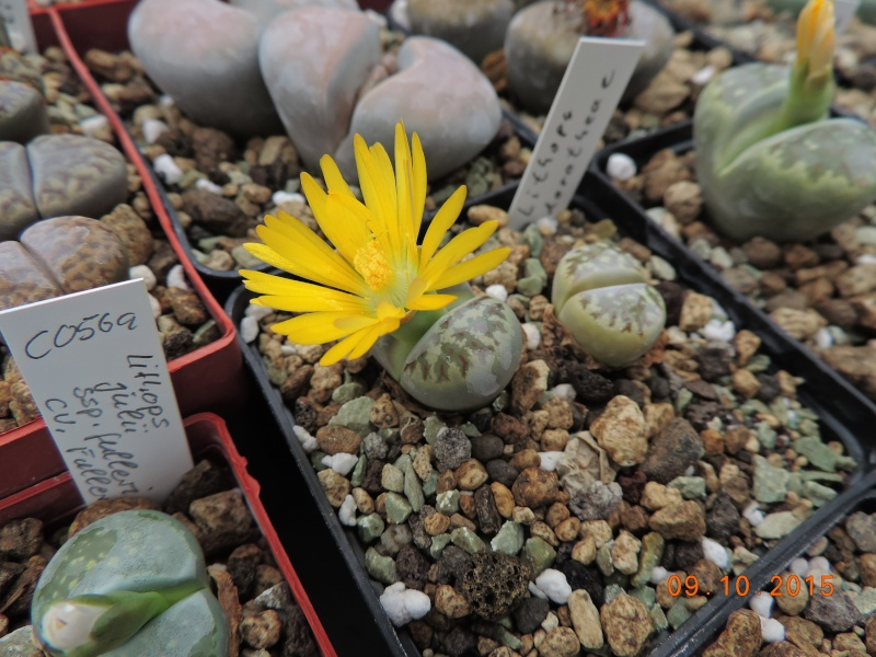 Cacti and Sukkulent in Köln, every day new flowers in the greenhouse Part 131 Bild_334